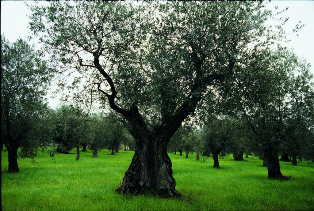 Gammalt olivträd