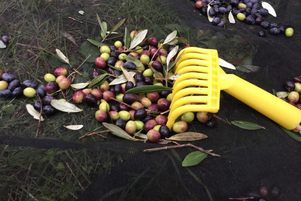 tillverkning olivolja