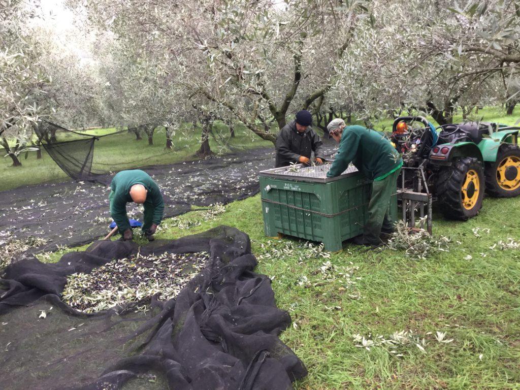 skörd av oliver till olivolja